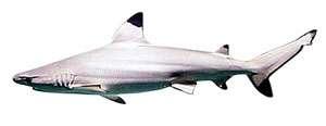 Shark Fishing Islamorada